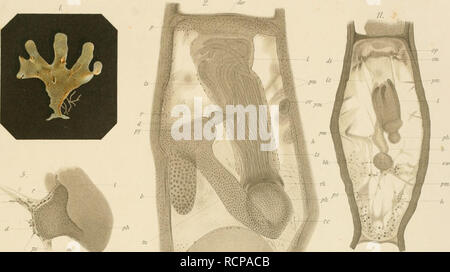 """. Die bryozoen, gesammelt während der dritten und vierten polarfahrt des """"Willem Barents"""" in den jahren 1880-1881. Bryozoa. Taf.L ps. PS I m 12. dw 6. ka t U ps  if ps. Please note that these images are extracted from scanned page images that may have been digitally enhanced for readability - coloration and appearance of these illustrations may not perfectly resemble the original work.. Vigelius, W. J; Willem Barents (Ship). Amsterdam : Tj. van Holkema - Stock Image"""