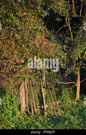 old and broken wooden gate in an overgrown garden leading to woods zala county hungary - Stock Image