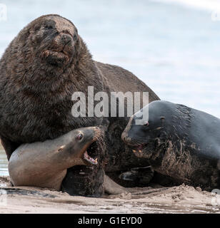 Two males and a female New Zealand or Hooker's sea lions (Phocarctos hookeri) on the beach showing aggressive - Stock Image