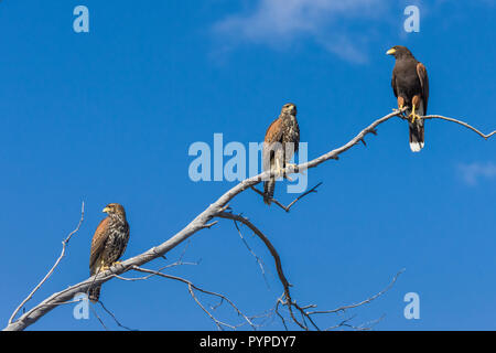Thee Harris Hawks (Parabuteo unicinctus), two immature  and one adult, perched on a tree branch with blue sky in the Sonoran Desert of Tucson (Arizona - Stock Image