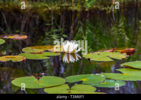 A water lily among lily pads beginning to open.  The national flower of Bangladesh. - Stock Image