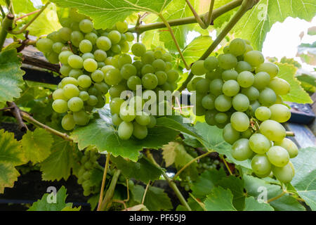 Grapes growing on a grapevine. - Stock Image