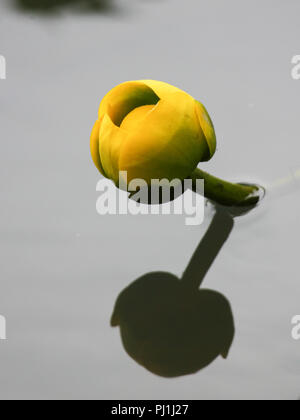 A yellow pond- lily blossom and shadow. - Stock Image