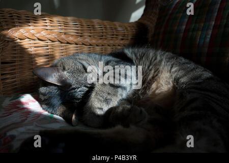 Tabby cat at named Oscar sleeps indoors in shaft of sunlight, Miami, Florida - Stock Image
