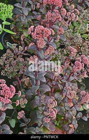 Close up of Sedum 'Red Cauli' in a flower border - Stock Image