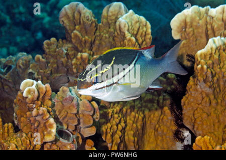 Bridled Monocle Bream, Scolopsis bilineatus. Adult fish. Also knwn as Two-lined Monocle Bream.Tulamben, Bali, Indonesia. Bali Sea, Indian Ocean - Stock Image