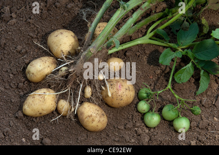 Potato (Solanum tuberosum Quarta). Plant with tubers and green fruit. - Stock Image