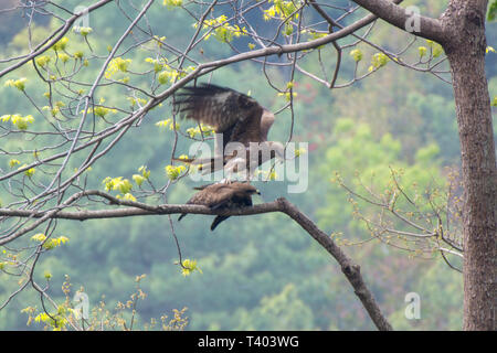 Two eagle in love on the tree in nature - Stock Image