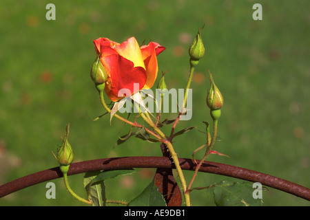 Rose buds on trellis in Vermont garden - Stock Image