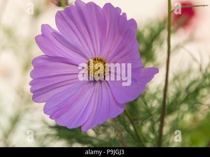 Cosmos Pinkie in flower, cosmos  bipinnatus, - Stock Image