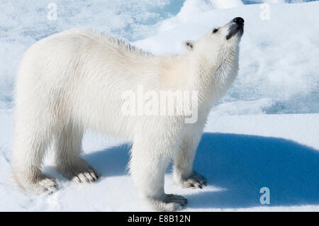 Young adult tagged Polar Bear, Ursus maritimus, looking for scent in the air Bjornsundet, Svalbard Archipelago, - Stock Image