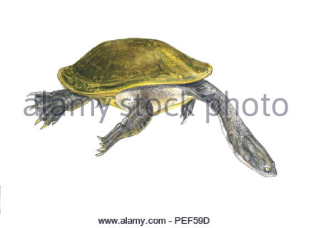 giant snake neck tortoise macrochelodina expansa - Stock Image