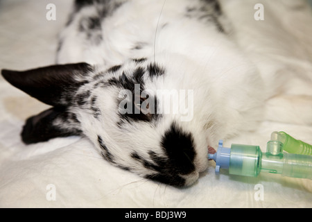 Pet Rabbit Under General Anaesthetic - Stock Image