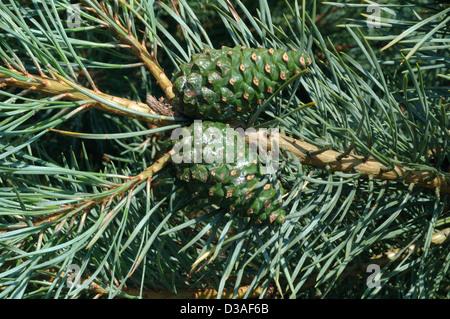 Scots pine cones (Pinus sylvestris: Pinaceae), UK - Stock Image