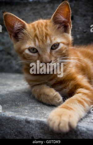 White ginger cat lying on the grey stairs and looking straight ahead with a paw stretched forward - Stock Image