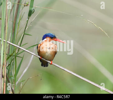 A malachite kingfisher (Corythornis cristatus ), perching on a papyrus stem,  watches the water at the edge of the  Mabamba Swam,. Mabamba Bay Wetland - Stock Image