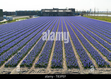 Lisse, Holland - April 18, 2019:  Rows of traditional Dutch Hyacinths with purple flowers and bulb sheds at the background - Stock Image
