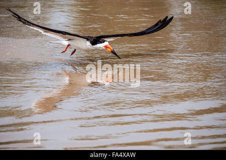 Black Skimmer with reflection, Rynchops niger, fishing in flight, Cuiaba River, Pantanal, Mato Grosso, Brazil, South - Stock Image
