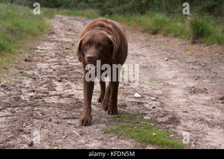 overweight adult chocolate labrador walking on footpath , Ludshott Common, Surrey - Stock Image