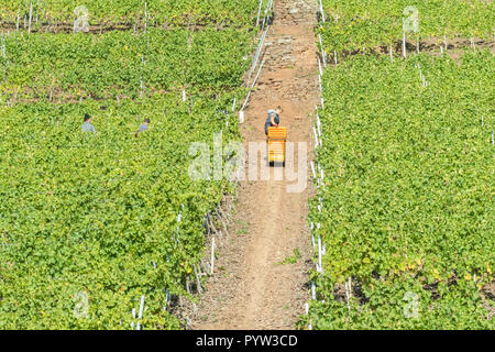 a man pulls crates up a steeply sloping Moselle Valley vineyard during harvesting using a pulley system, Germany, Europe - Stock Image