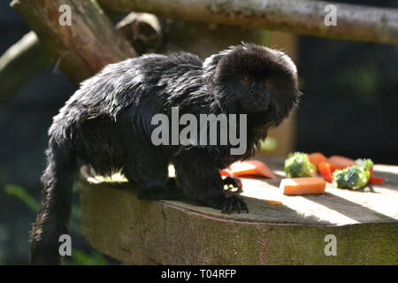 Geoldi's Marmoset small black monkey, native to the Amazon Basin at Tropical Wings Zoo, Chelmsford, Essex, UK. This zoo closed in December 2017. - Stock Image