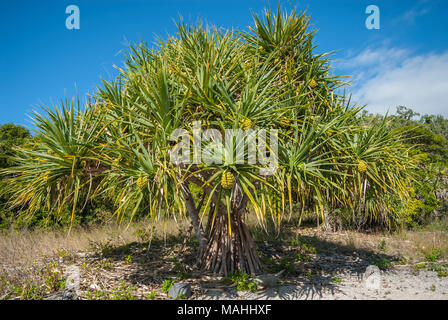 Pandanus or Screw Pine, growing on small reef island in the Whitsundays, Queensland, Australia - Stock Image