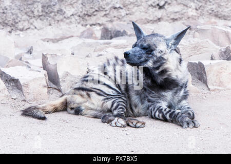 Brown Hyena, striped Hyena - Stock Image