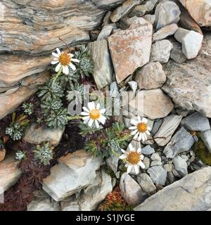 Mountain daisy amongst the rocks - Stock Image