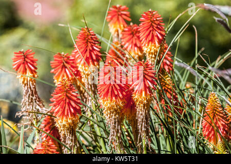 Kniphofia 'Papaya Popsicle' know as Pokers in Bloom - Stock Image