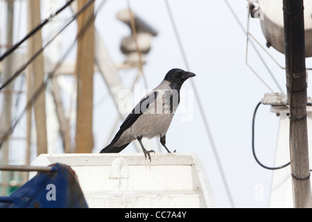 Hooded Crow (Corvus corone cornix), Perched on Fishing Boat, Gillelje Harbour, Sjaelland, Denmark - Stock Image
