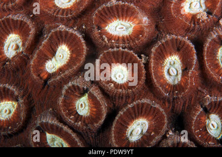 Hard Coral Texture, Close-up of a Hard Coral. Anilao, Philippines - Stock Image