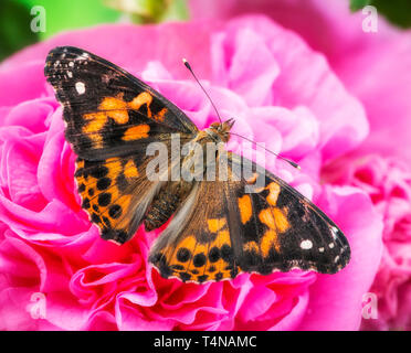 Painted lady butterfly (Vanessa Cardui) resting on a pink hollyhock flower, with wings spread open - top view - Stock Image