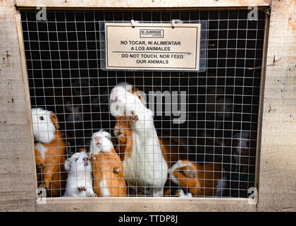 A cage of guinea pigs at a farm in Ollantaytambo, Cusco, Peru - Stock Image