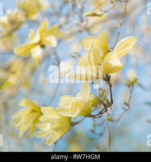 Yellow Magnolia Tree Blossoms against Blue Sky - Stock Image