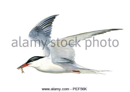 tern sterna hirundo - Stock Image