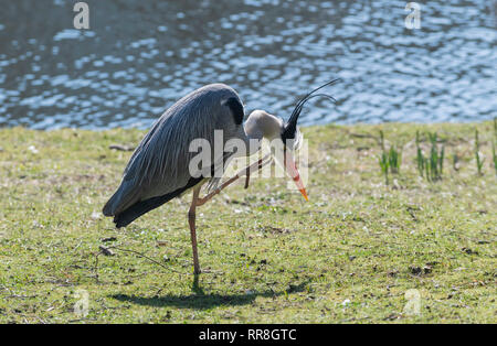 Grey Heron preening UK Ardea cinerea - Stock Image
