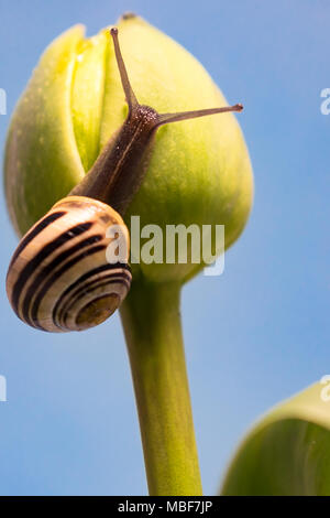 snail on a tulip - Stock Image