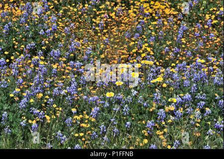 Goldfields, Lasthenia sp., Minature lupine, Lupinus bicolor,  Owl's clover, Castilleja sp.,  Cuyamaca Rancho State Park, CA 080518_30420 - Stock Image
