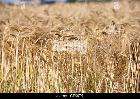 Wheat growing in a field - Stock Image