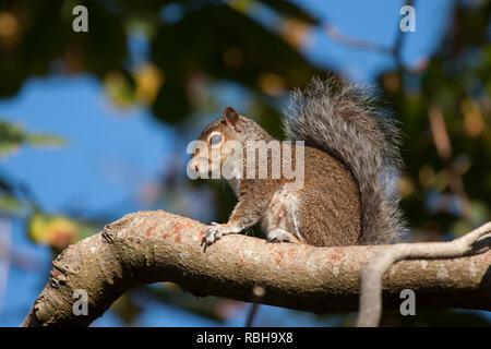 Grey Squirrel (Sciurus carolinensis) sitting up high on a tree branch. Tipperary, Ireland - Stock Image
