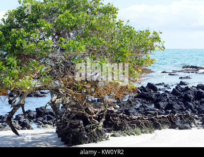 A Red Mangrove (Rhizophora mangle) tree grows from an outcrop of black lava in a white sand beach. Puerto Villamil, - Stock Image