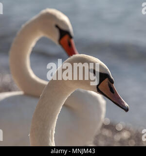 Two white swans on the shore of a lake closeup. - Stock Image