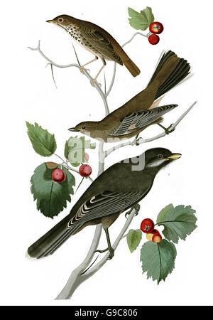 1 Hermit Thrush, Catharus guttatus, 2 Gray Jay, Perisoreus canadensis, 3 Townsend s solitaire, Myadestes townsendi, - Stock Image