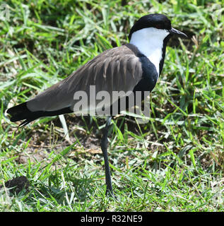 The spur-winged lapwing or spur-winged plover (Vanellus spinosus). Queen Elizabeth National Park, Uganda. - Stock Image
