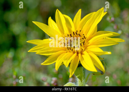 Sunflower, close up of a small flower head, part of a project to create insect and bird friendly field margins. - Stock Image
