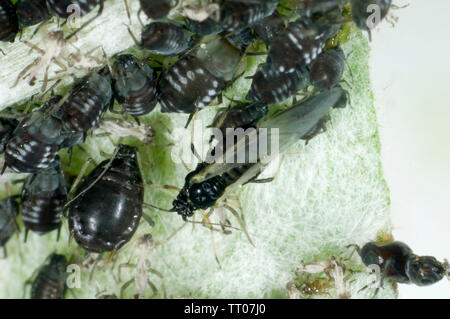 Black bean aphid, Aphis fabae, photomicrograph of infestation on globe artichoke leaf, Berkshire, June - Stock Image