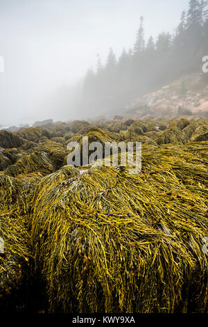 Rockweed covers boulders on a foggy morning along the Acadia National Park shoreline at low tide. - Stock Image