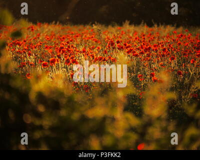 Poppies and Evening Midges - Stock Image