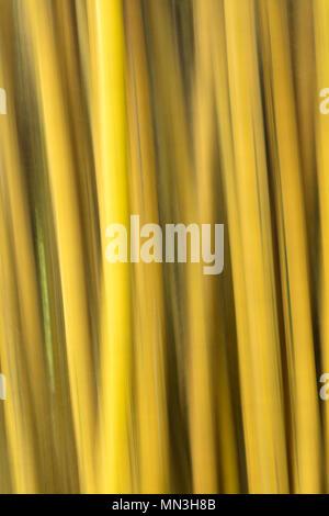 Bamboo In the jungle, Quebrada Valencia, Magdalena, Colombia - Stock Image