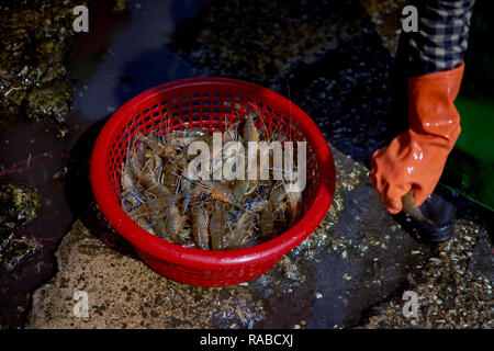 Daily catch of fresh prawns ready for sale at a Thailand food market - Stock Image